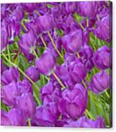 Central Park Spring-purple Tulips Canvas Print
