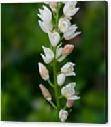 Cephalanthera Longifolia Canvas Print