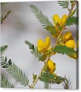 Chamaecrista Fasciculata Sleeping Plant Partridge Pea Canvas Print