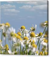 Chamomile Nature Spring Scene Canvas Print