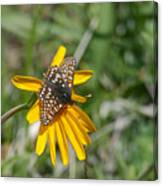 Checkerspot On Bahai Aster 3 Canvas Print