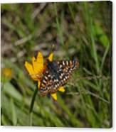 Checkerspot On Bahai Aster 4 Canvas Print