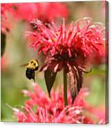 Checking The Bee Balm  Canvas Print