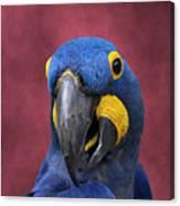 Cheeky Macaw Canvas Print