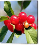 Cheery Cherries Canvas Print