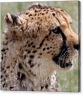 Cheetah No. 2  Canvas Print