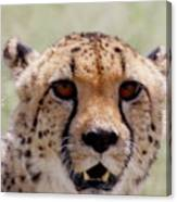 Cheetah No.1 Canvas Print