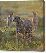 Cheetah Acinonyx Jubatus And Jackals Canvas Print