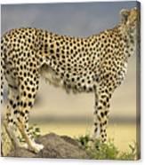 Cheetah Acinonyx Jubatus On Termite Canvas Print