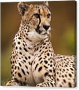 Cheetah Beauty Canvas Print