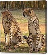 Cheetah Chat 2 Canvas Print