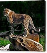 Cheetah Cub Finds Her Pride Rock Canvas Print