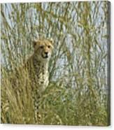 Cheetah Cub In Grass Canvas Print