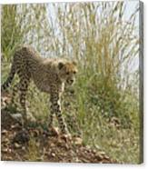 Cheetah Exploration Canvas Print
