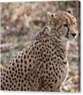 Cheetah Canvas Print