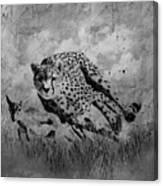 Cheetah Hunting Deer  Canvas Print