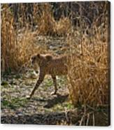 Cheetah  In The Brush Canvas Print