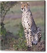 Cheetah Meditating Canvas Print
