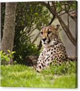 Cheetah Of The Hill Canvas Print