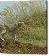 Cheetah On The Prowl Canvas Print
