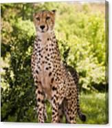 Cheetah Overlook Canvas Print