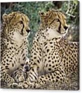 Cheetah Pair Canvas Print