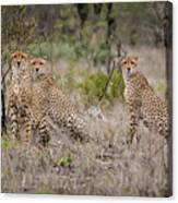 Cheetah Party I Canvas Print
