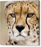 Cheetah Portait Canvas Print