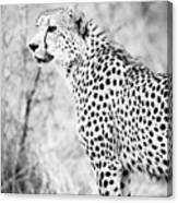 Cheetah Canvas Print