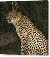 Cheetah Watching Canvas Print