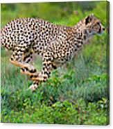 Cheetahs Acinonyx Jubatus Hunting Canvas Print