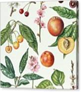 Cherries And Other Fruit-bearing Trees  Canvas Print