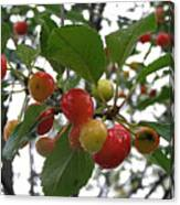 Cherries In The Morning Rain Canvas Print