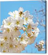 Cherry Blossom And A Bee Canvas Print