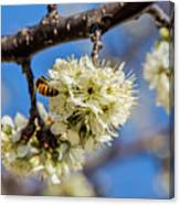 Pear Blossom And Bee Canvas Print