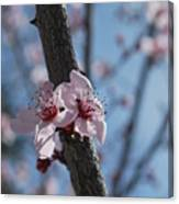 Cherry Blossom Branch Canvas Print