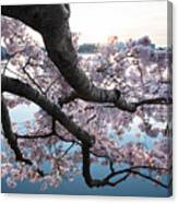 Cherry Blossom Breeze Canvas Print