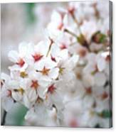 Cherry Blossom Close-up No. 6 Canvas Print
