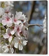 Cherry Blossom Cluster Canvas Print