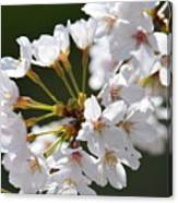 Cherry Blossom Cluster Canvas Print