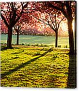 Cherry Blossom In A Park At Dawn Canvas Print