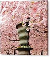 Cherry Blossom In Stockholm Canvas Print