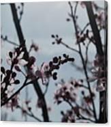 Cherry Blossom Transparency Canvas Print
