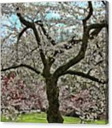 Cherry Blossom Trees Of Branch Brook Park 31 Canvas Print