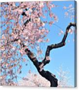Cherry Blossom Trilogy II Canvas Print