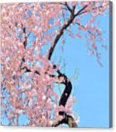 Cherry Blossom Trilogy IIi Canvas Print