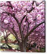 Cherry Blossom Wonder Canvas Print