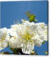 Cherry Blossoms Art White Spring Tree Blossom Baslee Troutman Canvas Print