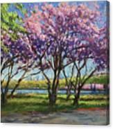 Cherry Blossoms, Central Park Canvas Print