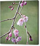 Cherry Blossoms In Early Spring Canvas Print